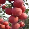 2公分苹果苗产量 1公分苹果苗适应地区