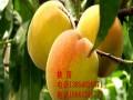 新品种桃树苗价格