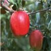 矮化苹果苗种植 富士王苹果苗多少钱一棵