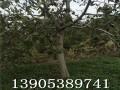 6公分核桃树价格