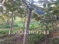 8公分核桃树价格