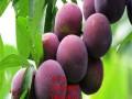 新品种李子树苗