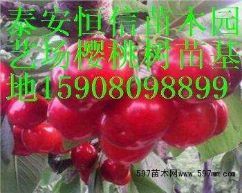 樱桃苗品种价格 苗木 苗木报价图片