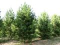 大量1.5-5米油松