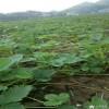 白草莓苗基地 当年可结果白草莓苗 白草莓苗价格