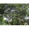 朴树,朴树价格,20公分朴树价格,25公分朴树价格