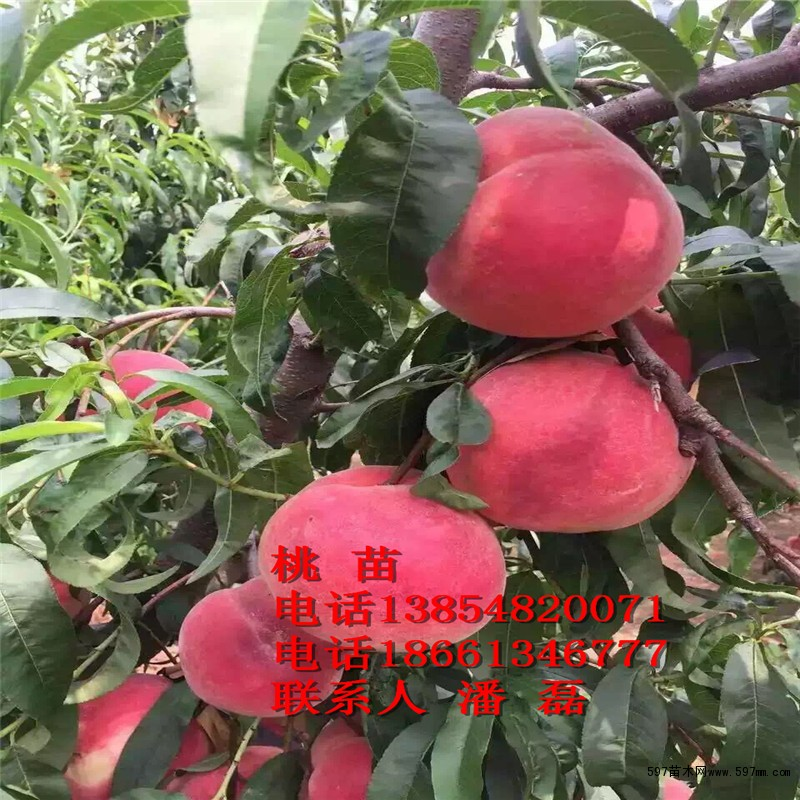 山东冬桃桃树苗新品种