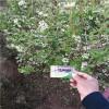 1年生布里吉塔蓝莓苗价格 蓝莓苗种植方法