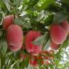 山东桃苗、山东桃树苗新品种、山东桃树树苗价格多少