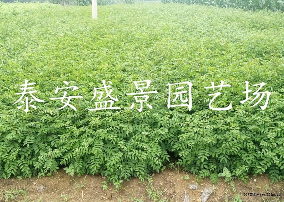 花椒苗批发基地价格|果树小苗|苗木|苗木报价|597苗木
