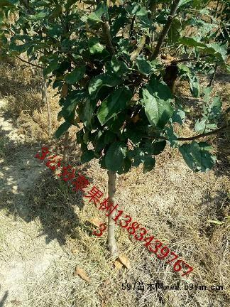 3公分苹果树行情