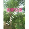 12公分皂角树价格