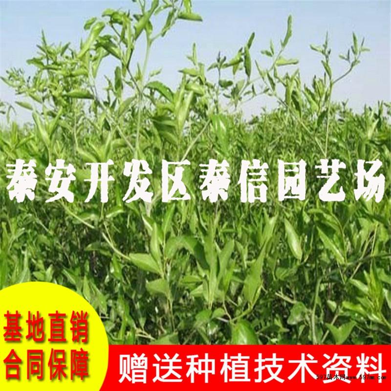 二代冬枣树苗价格