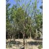 成都实生全冠朴树24公分朴树温江一手货源低价格树型优美