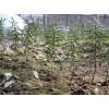 出售红豆杉小苗、品种纯正、成活率高、长势好