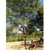 哪里有12公分皂角树,18公分皂角树价格