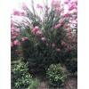 温江精品紫薇笼子1.5-3米冠冠幅饱满树型优美紫薇笼子价格