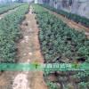 哪里卖3公分樱桃树苗基地在哪里批发价格多少钱