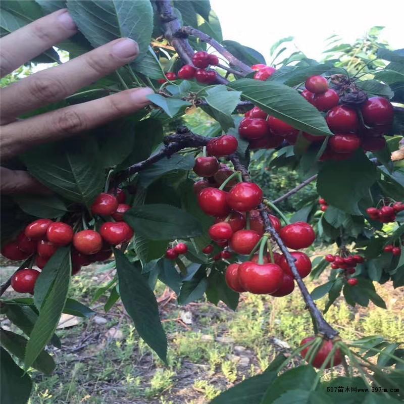 樱桃树苗新品种 哪里有樱桃树苗 樱桃树苗批发