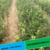 枸橘苗价格产地直销易成活优质枸橘苗