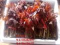 山东红油香椿树苗 红油香椿苗价格