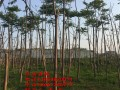 绿化工程用10公分香椿树苗价格