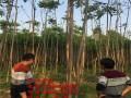 江苏8-10公分香椿树苗价格