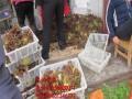 河北红油香椿树苗 红油香椿苗价格