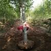 5公分法桐树 6公分7公分8公分10公分12公分分体式价格