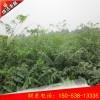 青岛香椿苗多少钱一棵
