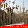 威海2米香椿苗一亩种多少合适