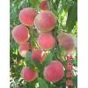 桃树苗批发 桃树苗品种介绍 供应  o8以上桃树苗大量供应