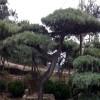 现货出售造型景松 造型油松 造型黑松 造型景松价格