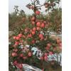 三公分寒富苹果树苗价格