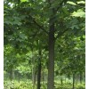 香樟价格 15公分马褂木价格