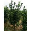 自己种植的,大叶黄杨,一手货源,没有中间差价。