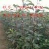 哪里有梨苗、梨树苗多少钱一棵、晚秋梨树苗介绍