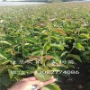 梨樹苗、梨樹苗多少錢一棵、、玉露香梨苗批發價格、梨樹苗哪里有