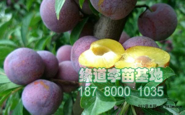 龙滩珍珠李是从峨县野生李资源中选育的优良新品种,2009年5月通过广西自治区农作物品种审定委员会审定并命名。果实近圆形至扁圆形,平均单果重21g,最大单果重24.2棵。果皮深紫红色,着色面积至橙黄色,肉质爽脆,较细腻,滋味酸甜适中,有香味,风味好,可溶性固形物13.3%。果核小,离核,可是率97.