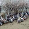 3公分吉塞拉樱桃树苗价格、3公分吉塞拉樱桃树出售