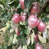 红肉苹果苗出售、红肉萍果树苗价格、红肉苹果树多少钱