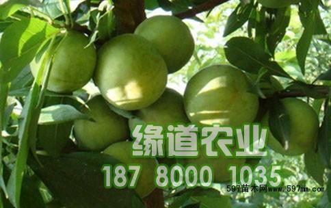 四川缘道李子苗圃所售的李子苗,全是正品李子苗,根系发达,生长旺盛