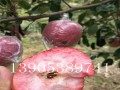 哪里有红肉苹果苗