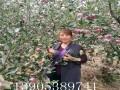 红肉萍果树苗