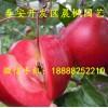 红将军苹果苗 红将军苹果苗价格 红将军苹果苗基地