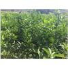 出售无籽091沃柑苗,091无核沃柑树