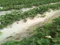 草莓苗栽培技术