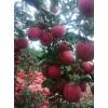 苹果苗最新价格  新品种介绍