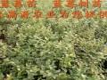 蓝丰蓝莓苗 (1图)