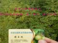 九叶青花椒苗